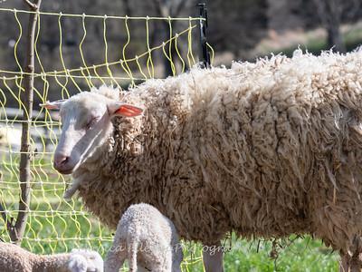 Lambs 13 April 2018-6910