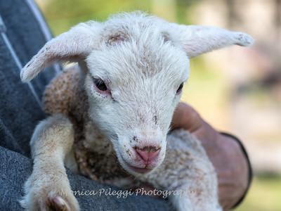 Lambs 13 April 2018-6891