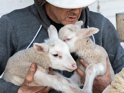 Lambs 13 April 2018-7050
