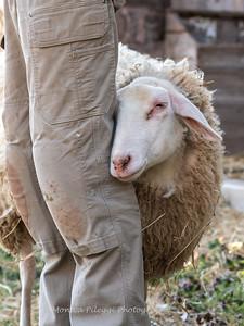 Lambs 13 April 2018-7042
