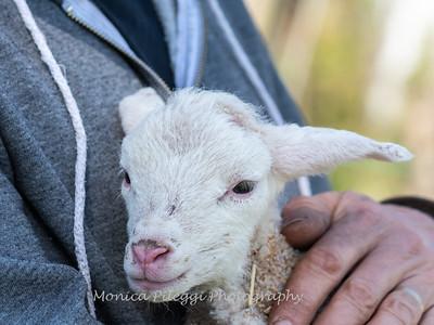 Lambs 13 April 2018-6894