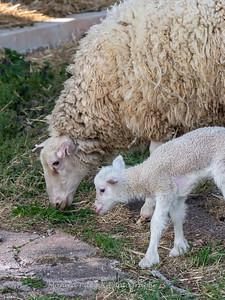 Lambs 13 April 2018-7010