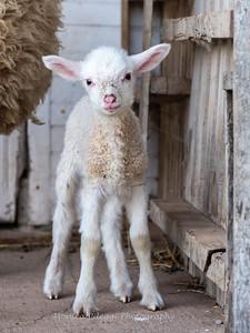 Lambs 13 April 2018-7037