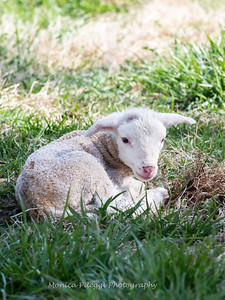 Lambs 13 April 2018-6953