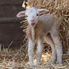 Lambs 13 April 2018-6883