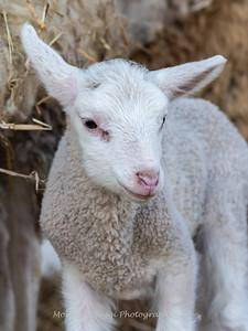 Lambs 13 April 2018-7025