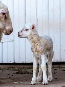 Lambs 13 April 2018-7030