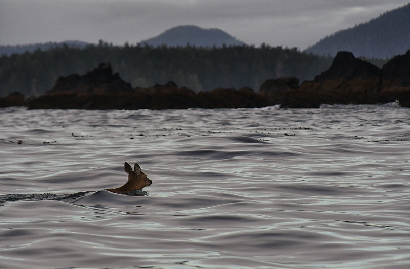 A Sitka Black-tailed deer swims from one island to another.