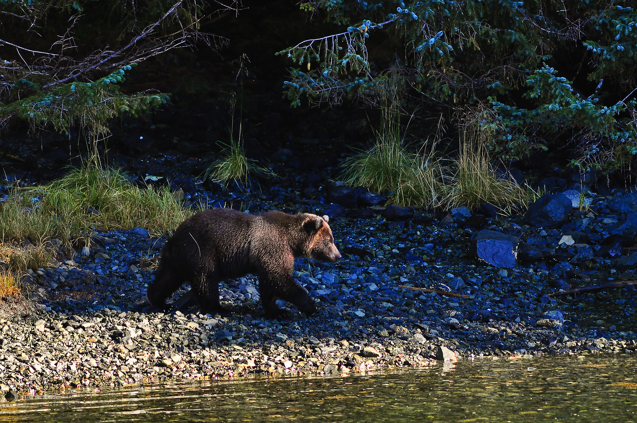 A bear lumbers over to a creek to go fishing.