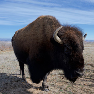3-Legged Bison