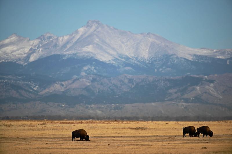 Bison Under Longs Peak