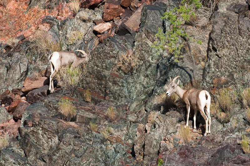 Big Horn Sheep, Grand Canyon