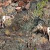 Big Horn Sheep, Grand Canyon