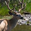 Blacktail Deer, Yosemite