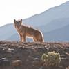 Coyote, Death Valley