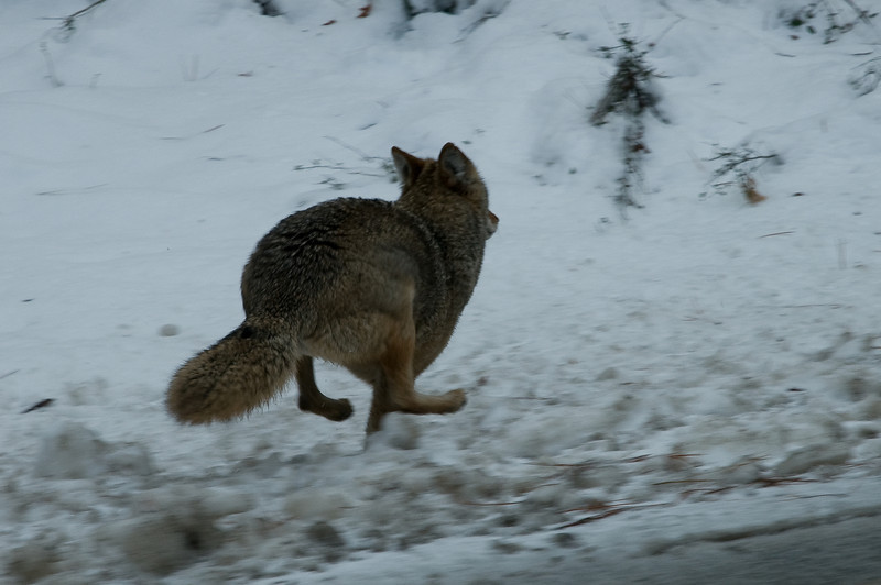 Coyote, Yosemite