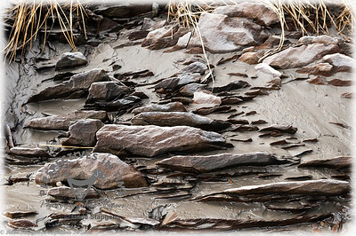 Bird Point - Shale in the mud