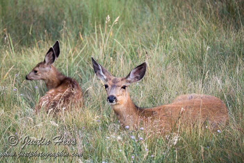 Resting Deer (Hoppity and Mom)