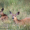 Resting Deer (Hoppity and Mom)