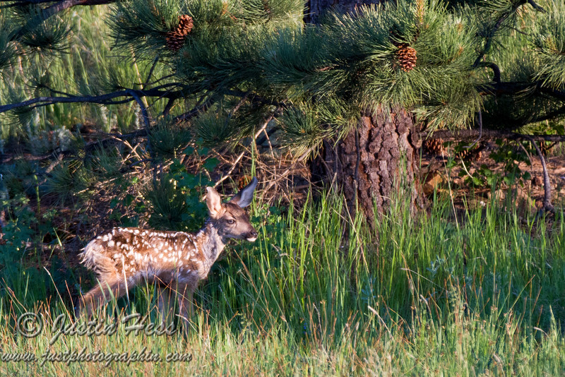 Sizing Up the Fawn