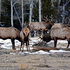 Six makes for a lot of elk trying to figure out whose rack is bigger!