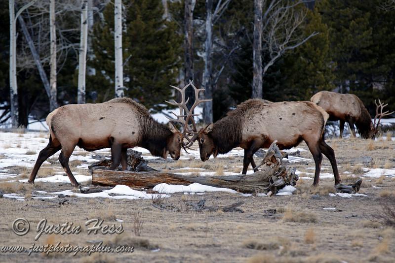 Bull elk sparing in Horseshoe Park - Rocky Mountain National Park.