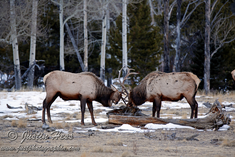 Bull elk sparing in Horseshoe Park - Rocky Mountain National Park.