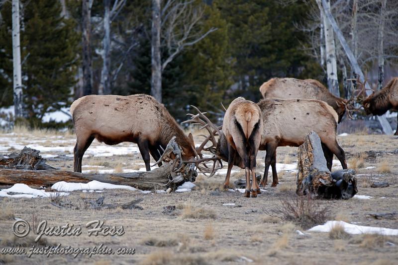 Bull elk doing what bull elk do best...