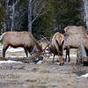 Bull elk doing what bull elk do best...