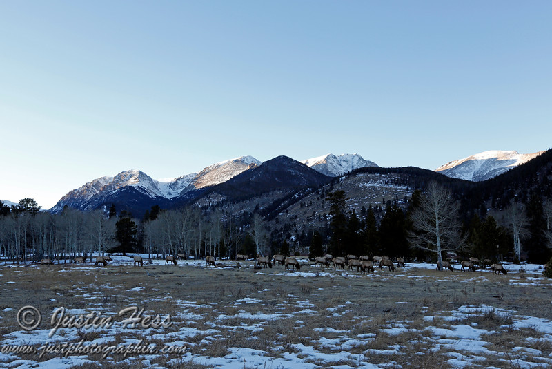 Elk in Horseshoe Park with the Mummy Range in the background - Rocky Mountain National Park.