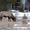 Bull elk in Horseshoe Park - Rocky Mountain National Park.