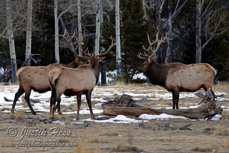 Two is a party; three is a crowd.  Bull elk sparing in Horseshoe Park - Rocky Mountain National Park.