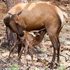 Elk calf nursing.