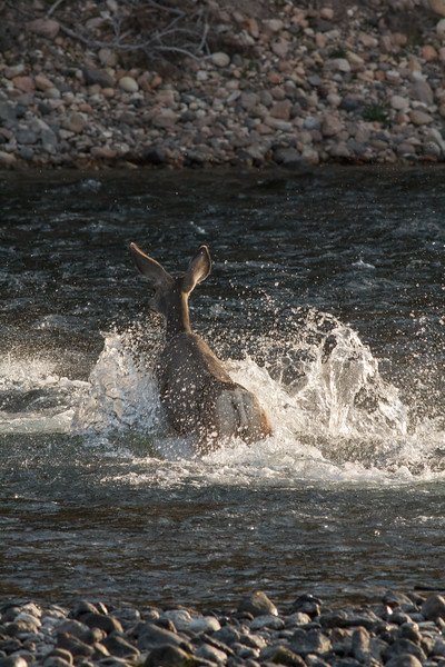 Mule deer, Yellowstone National Park