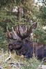 Bull moose, Yellowstone National Park