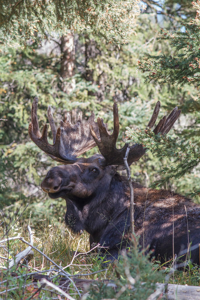 Bull moose, Yellowstone National Park
