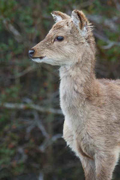 Sika deer, Assateague Island National Seashore