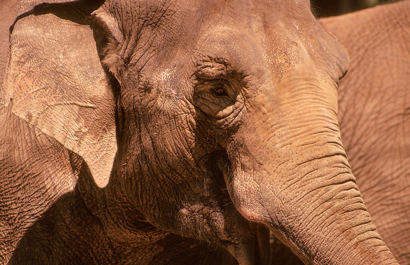 Who doesn't like an elephant.  We have to love those character features, wrinkles and skin folds.
