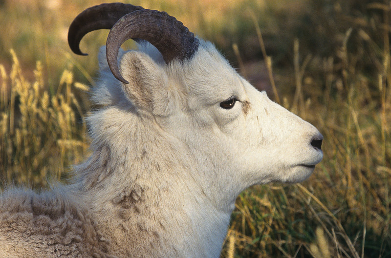 Mountain goats enjoy living in the higher elevations and are protected from the cold by their heavy white coats of fur.  The higher they live, the fewer predators they have.