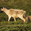 A female caribou with a calf.