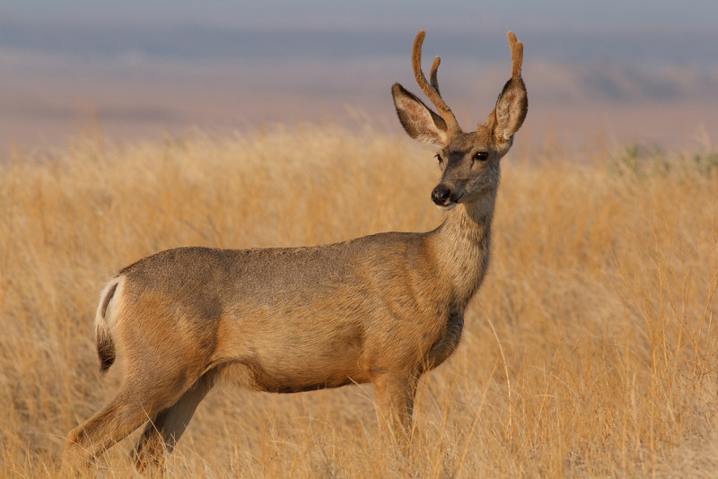 Mule deer, Badlands National Park