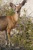 Mule deer, Badlands National Park