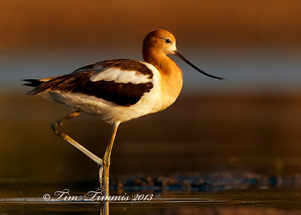 American Avocet posing from Bryan Beach, TX.  Taken with Canon 7D and Canon 500mm F4 II with 1.4x III mounted on Skimmer ground pod with Wimberley II gimbal head.