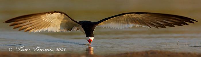 Black Skimmer from Bryan Beach, TX
