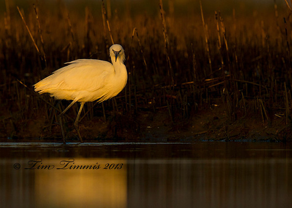 White Morph Reddish Egret at sunrise.  Taken with Canon 7D and 500mm F4 IS II mounted on Skimmer ground pod with Wimberley II head.