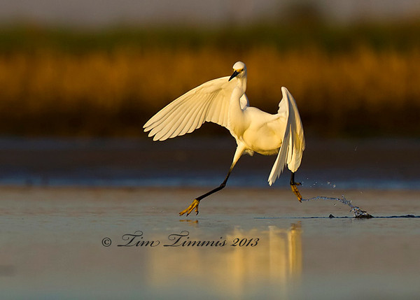 Snowy Egret chasing fish.
