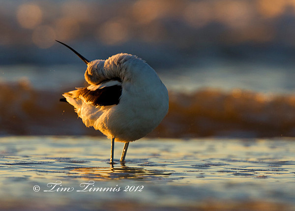 Avocet from Bolivar Flats in Texas.  Taken with Canon 7D and Canon 500mmF4 IS II with 1.4x III teleconverter