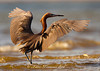Reddish Egret from Bolivar Flats, TX.  Taken with Canon 7D and Canon 500mm F4 IS II with 1.4x III teleconverter mounted on Skimmer ground pod with Wimberley II gimbal head.