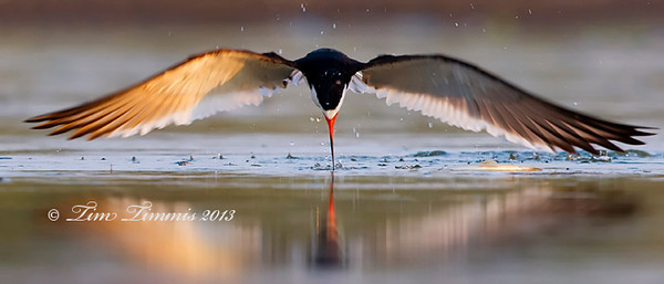 Black Skimmer from Bryan Beach, TX