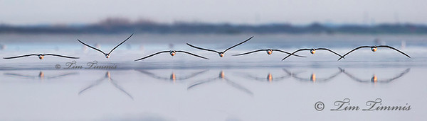 Black Skimmers from Bolivar Flats, won honorable mention in 2015 Audubon Photo Contest